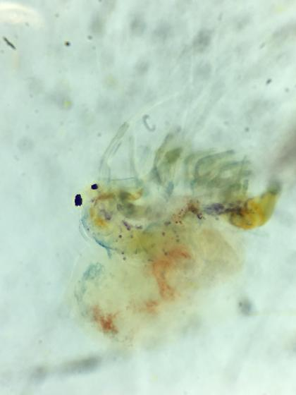 Holopedium gibberum - Holopedium glacialis