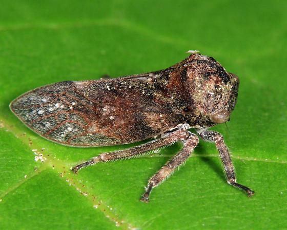 treehopper - Microcentrus caryae