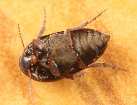 Plate-thigh Beetle - Eucinetus morio