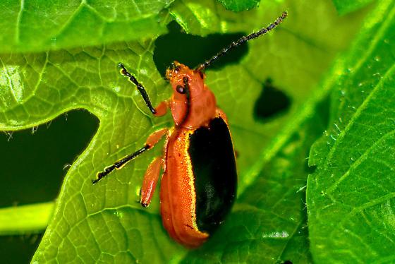 another beetle - Disonycha discoidea