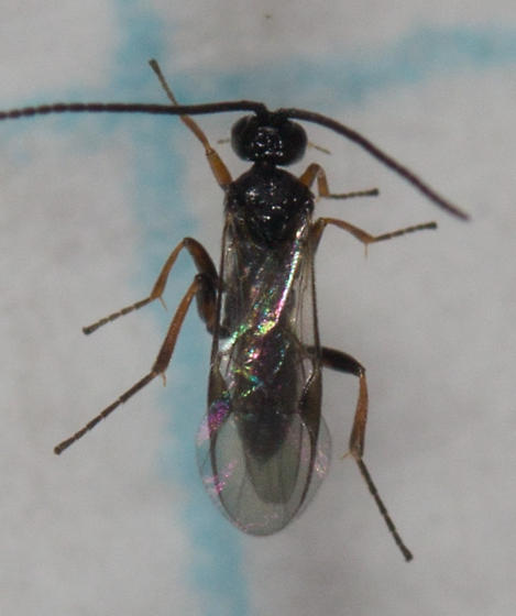 parasitic wasp?