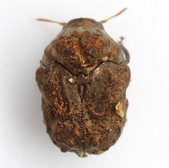 Neochlamisus scabripennis (Schaeffer) - Neochlamisus scabripennis