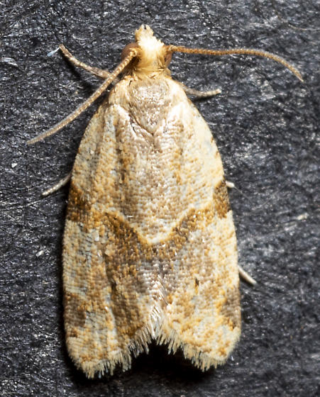 Clepsis peritana - male