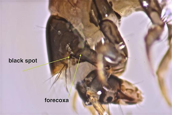 Glossossoma nigrior - Glossosoma nigrior