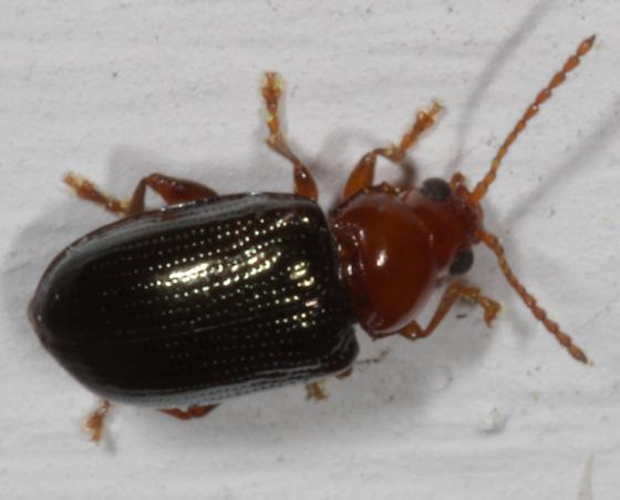 Beetle - red and black  - Derocrepis erythropus