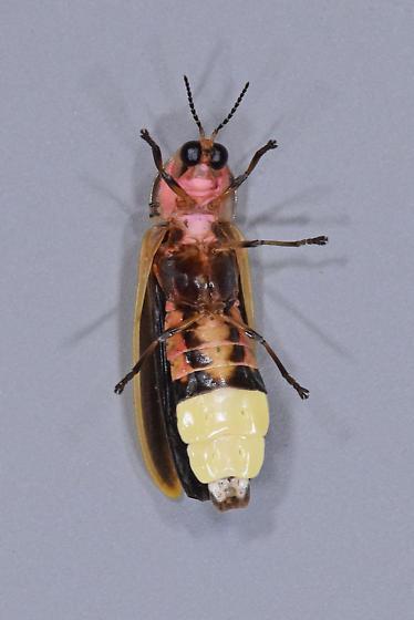 Pyractomena ecostata - male