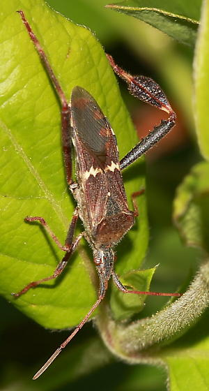 Leaf Footed Bug - Leptoglossus clypealis