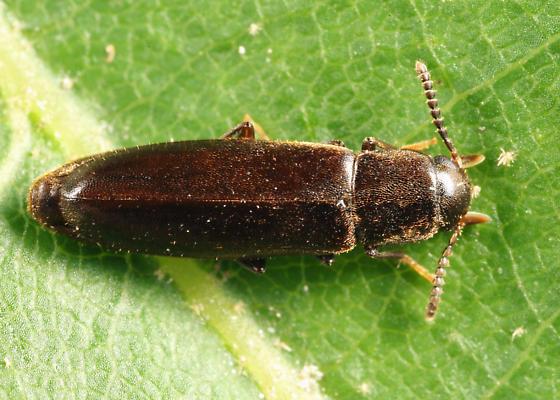Eucnemidae? - Rushia longula