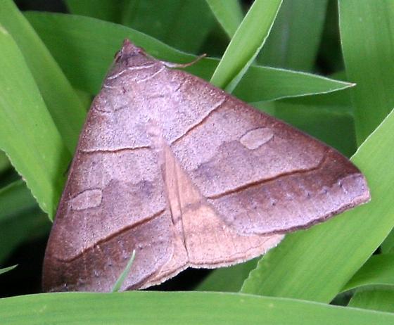 Moth ID Request - Mocis texana