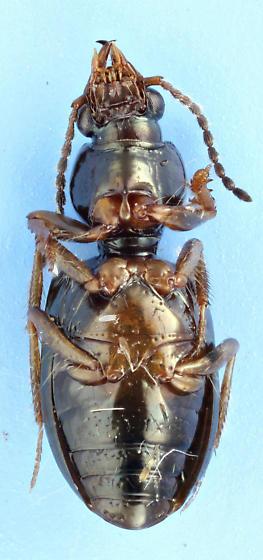 Clivini - Semiardistomis viridis