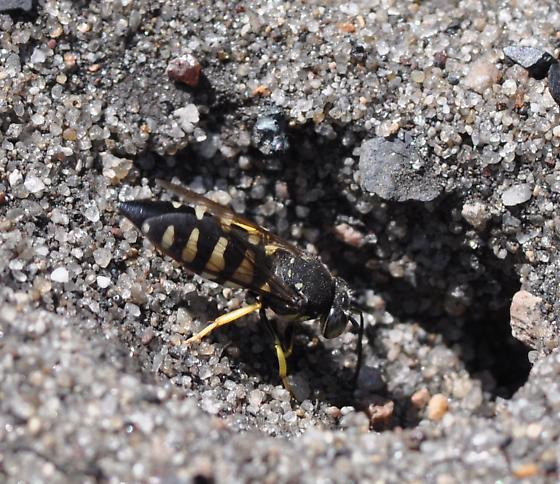 Wasp - Bicyrtes quadrifasciatus - female