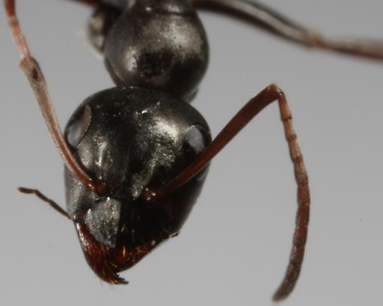 unknown black ant2 - Formica subsericea