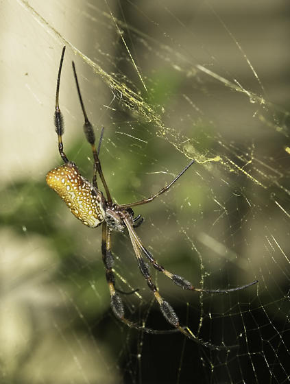 Golden Silk - Trichonephila clavipes - female