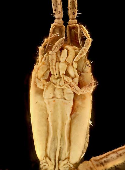 Walkingstick, ventral head - Parabacillus hesperus - female