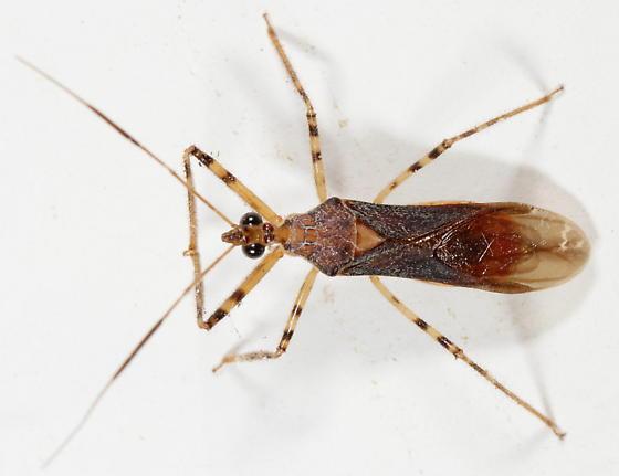 Castolus ferox - male