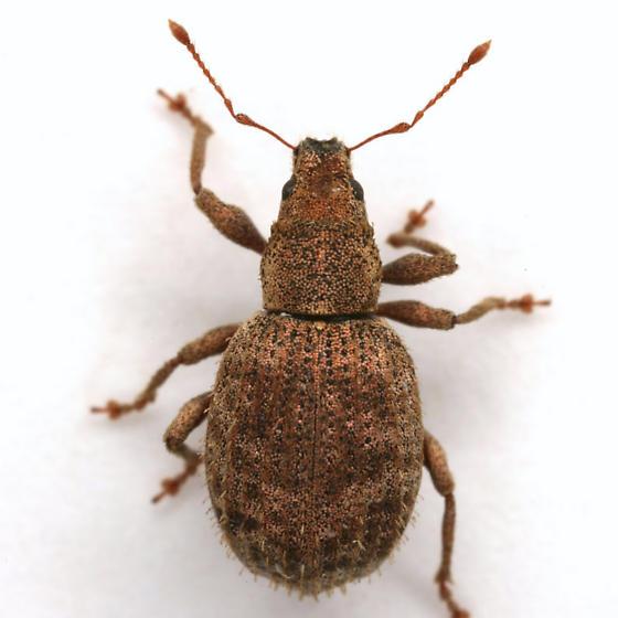 Sciaphilus asperatus (Bonsdorff) - Sciaphilus asperatus