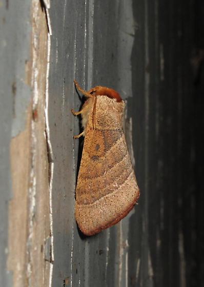 Leaf-like moth - Datana