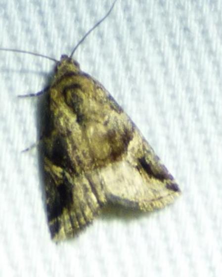 unknown moth - Ozarba nebula