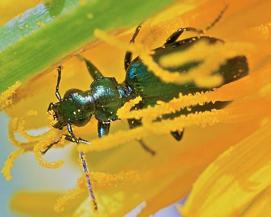 Beetle 8mm - Lebia viridis