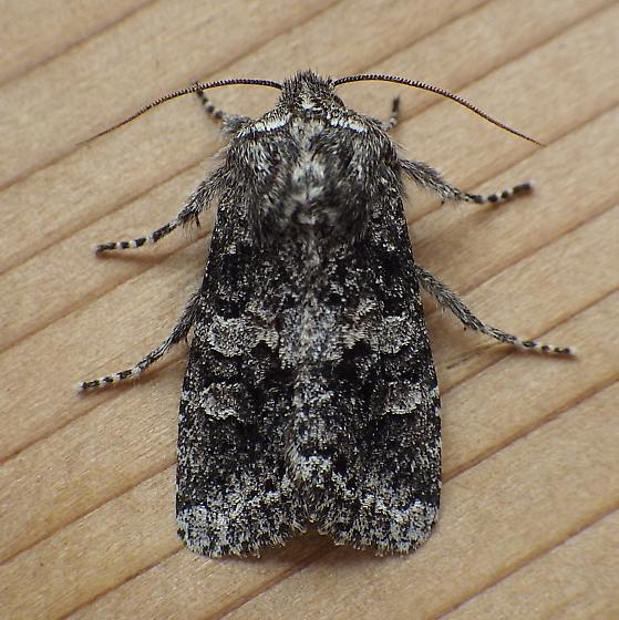 Noctuidae: Egira dolosa - Egira dolosa