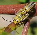Trirhabda eriodictyonis - male - female