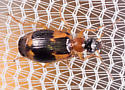 Tiny Beetle - Lebia analis