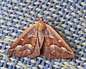 unknown moth - Caripeta aretaria - female