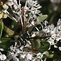 Conopidae-Physocephala ? - Polybiomyia sayi - male