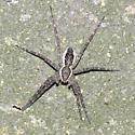 fisher spider - Dolomedes scriptus