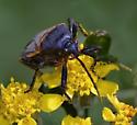 Heteroptera sp