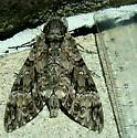 Sphinx Moth - Agrius cingulata