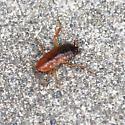 Cockroach - Shelfordella lateralis