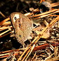 Common wood-nymph butterfly - Cercyonis pegala