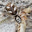 Zebra Spider? - Salticus scenicus