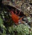 Mite - Neomolgus littoralis