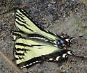 Swallowtail - Papilio rutulus