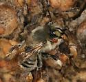 fuzzy bee - Megachile - female