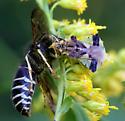 Phymata americana - female