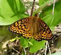 Butterfly - Speyeria atlantis - female
