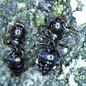 Crematogaster species? - female