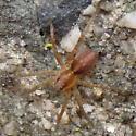 Unidentified spider - Pardosa