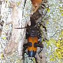 Red and black beetle - Semanotus ligneus