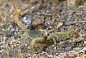 Scorpion from Anza Borrego Desert State Park, California. - Hadrurus anzaborrego