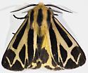 Tiger Moth - but which??? - Apantesis carlotta