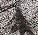 Spotted-winged fly - Anthrax