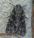 Unclear Dagger Moth - Acronicta inclara