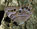 Pearly Eye Butterfly? - Lethe anthedon