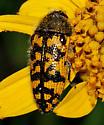 Acmaeodera - Acmaeodera auritincta