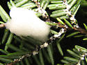 Hemlock adelgid from Tennessee and Aphrophora spittle - Adelges tsugae