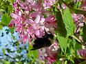 Mystery bumble bee - Bombus fernaldae - female